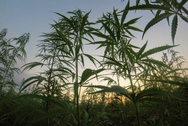 The Environmental Impact of Marijuana